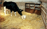 Frame, Swift and Partners Cumbria - Farm Animal Practice