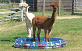 Alpacca cooling off in the heat